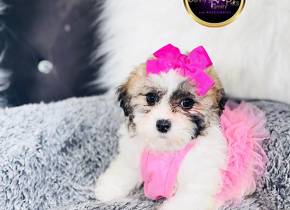 Alexis- Female | 8-Weeks Old | Shichon