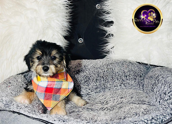 Kyrie - Male | 8 -Weeks Old | Yorkiechon