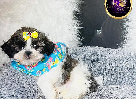 Pixie - Female | 8-Weeks Old |Teddy Poo