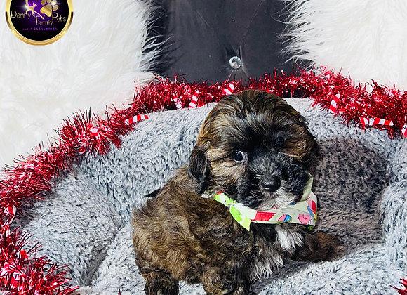 Ryder - Male | 9-Weeks Old |Teddy Poo