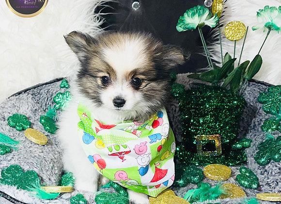 Riley - Male | 8-Weeks Old | Pomeranian