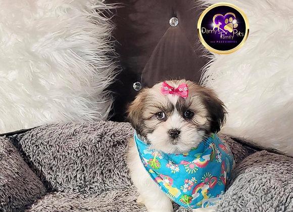 Kola - Female | 8-Weeks Old | Shichon
