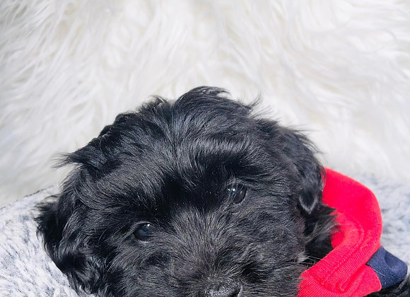 Hops- Male | 8-Weeks Old | Shorkie Tzu