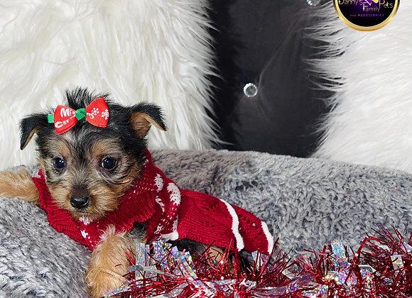 Nika - Female | 8 -Weeks Old | Yorkshire Terrier