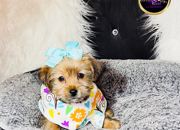 Chloe - Female | 10-Weeks Old | Shorkie Tzu
