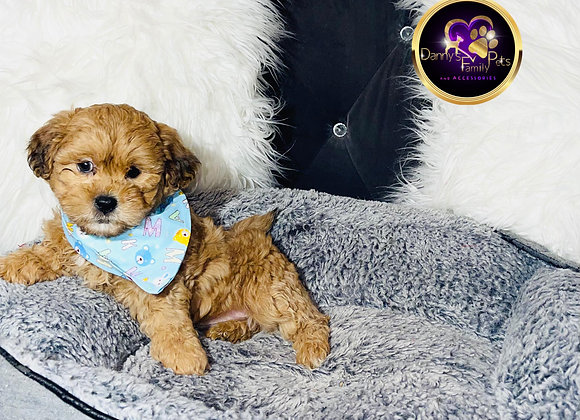 Isaac - Male | 8-Weeks Old | Shichon
