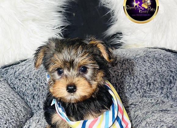 Morley- Male | 8-Weeks Old | Yorkshire Terrier
