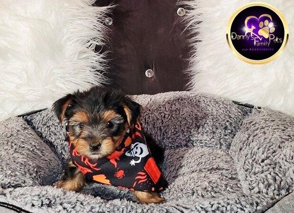 Cam - Male | 9-Weeks Old | Yorkshire Terrier
