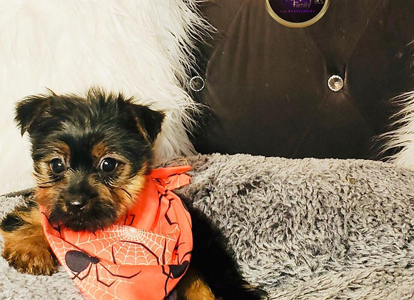Aiden - Male   8-Weeks Old   Yorkshire Terrier