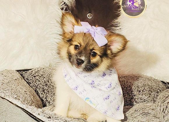 Stella - Female | 10-Weeks Old | Maltipom