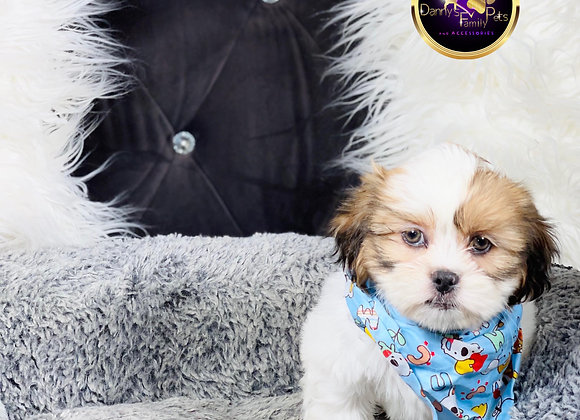 Rio- Male | 8-Weeks Old | Shichon