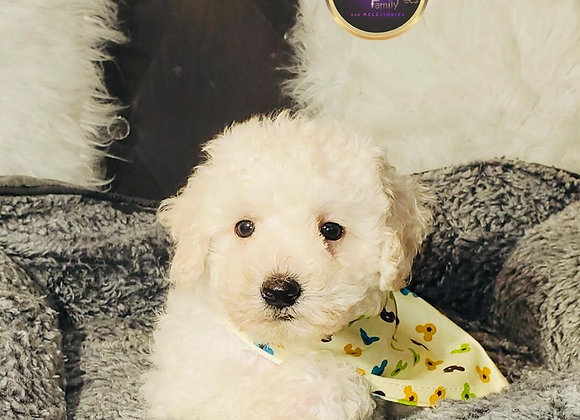 Chewy - Male | 8-Weeks Old | Maltipoo