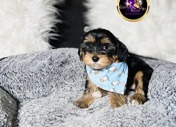 Gucci- Male | 8-Weeks Old | Yorkipoo