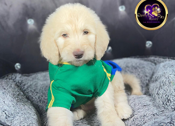 Tyson- Male | 8-Weeks Old | Goldendoodle