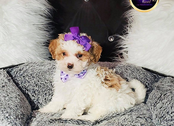 Pebbles - Female | 8-Weeks Old | Shichon