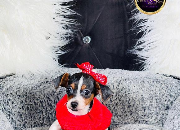 Minnie- Female | 9-Weeks Old | Chiweenie