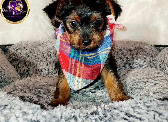 Blitz - Male | 8-Weeks Old | Yorkshire Terrier