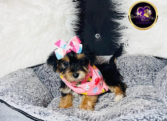 Avery - Female | 8 -Weeks Old | Yorkiechon