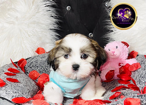 Finley - Male | 9-Weeks Old | Shichon