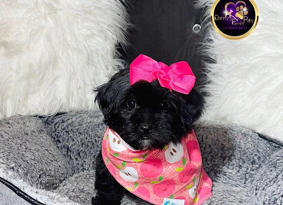 Julee - Female | 8-Weeks Old | Teddy Poo