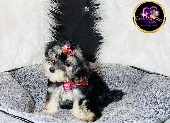 Willow- Female | 9-Weeks Old | Morkie