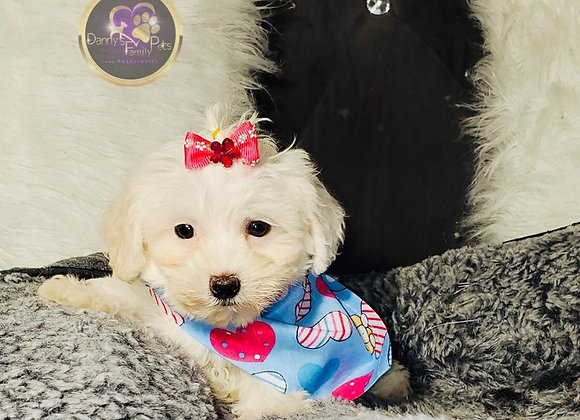 Sally - Female | 8-Weeks Old | Maltipoo