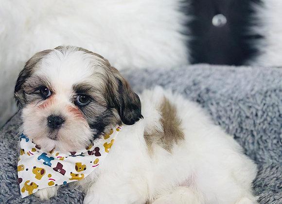 Kinton- Male | 8-Weeks Old | Shichon