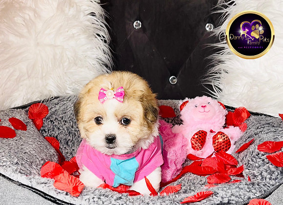 Candy - Female | 8-Weeks Old | Shichon