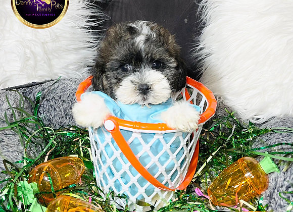 Cosmo- Male | 8-Weeks Old | Shihpoo