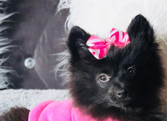 Blessing- Female   13-Weeks Old  Pomeranian