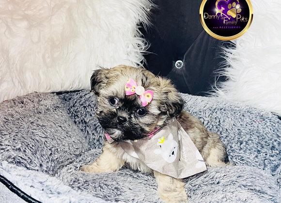Skyler - Female   8-Weeks Old   Shichon