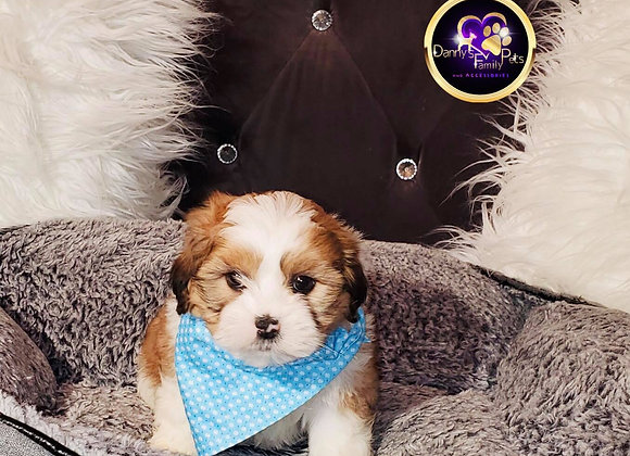 Slater - Male | 8-Weeks Old | Shichon