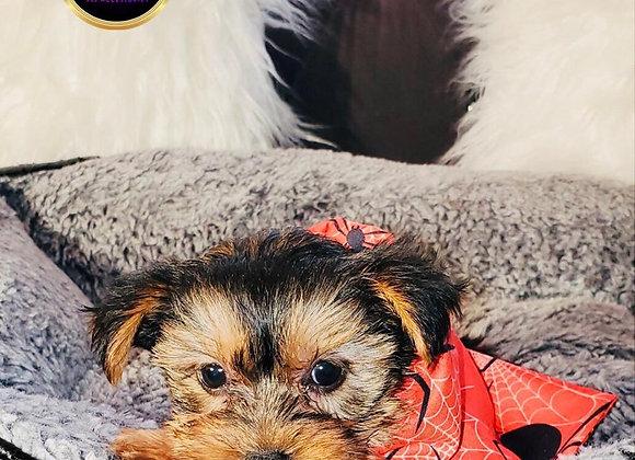 Jake - Male   8-Weeks Old  Yorkshire Terrier