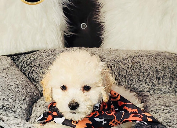 Duke - Male | 8-Weeks Old | Poochon
