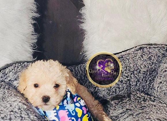 Wade - Male | 8-Weeks Old | Maltipoo