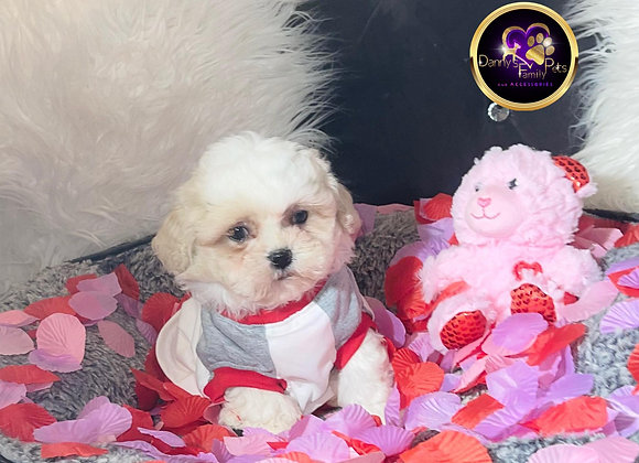 Miles- Male | 8-Weeks Old | Shichon