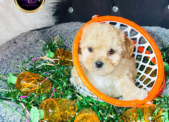Marty- Male | 8-Weeks Old | Shichon