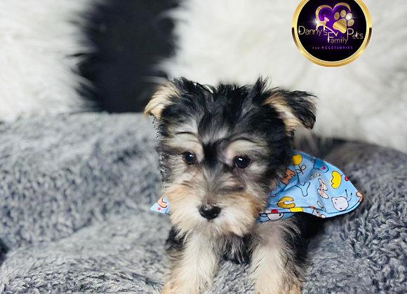 Donovan- Male | 8-Weeks Old | Morkie