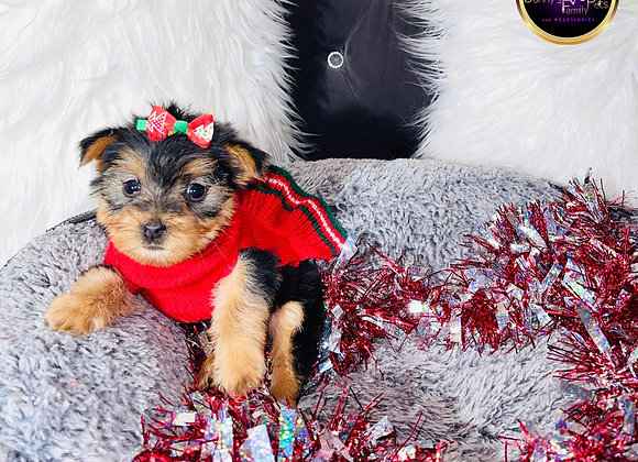 Nessa - Female | 8 -Weeks Old | Yorkshire Terrier