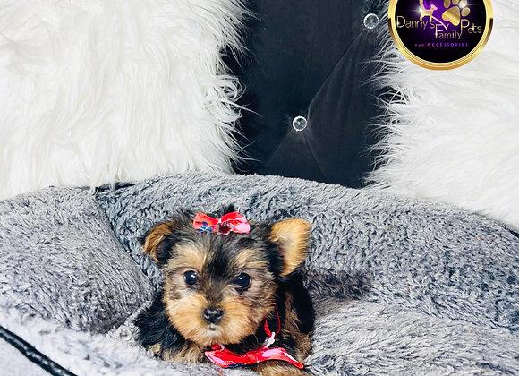Akira - Female | 9-Weeks Old | Yorkshire Terrier