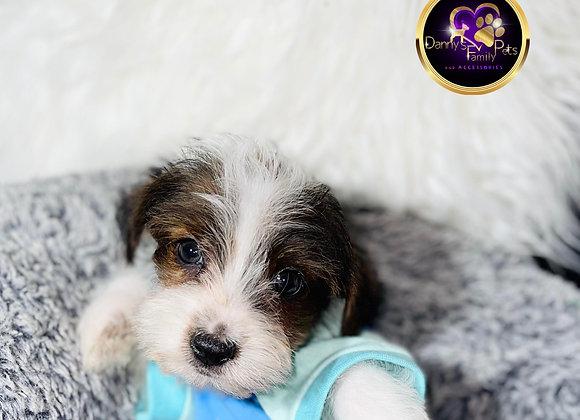 Rover- Male | 8-Weeks Old | Shorkie Tzu