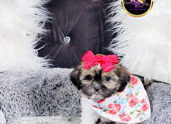 Lula- Female | 8-Weeks Old | Shichon