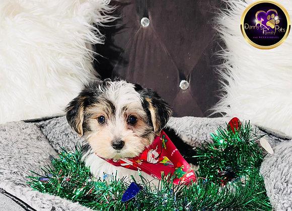 Jasper - Male | 8 -Weeks Old | Morkie