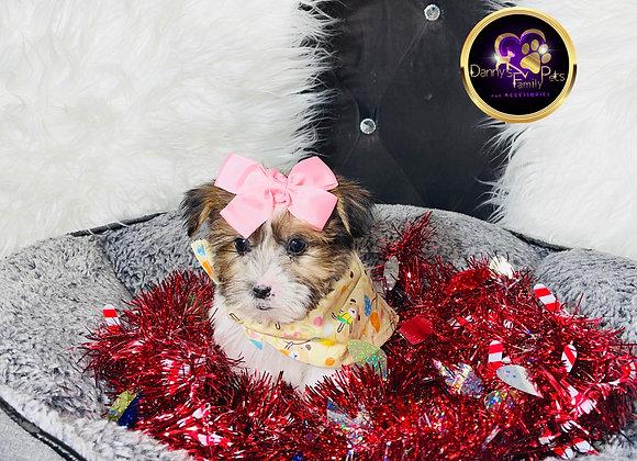 Chanel - Female | 8 -Weeks Old | Shorkie Tzu