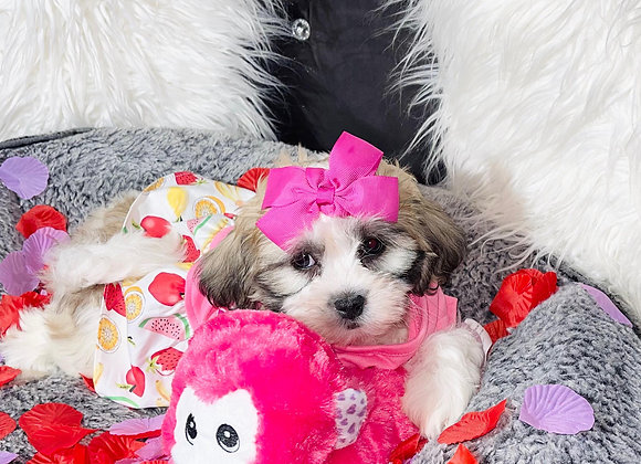 Hope - Female | 9-Weeks Old | Teddy Poo