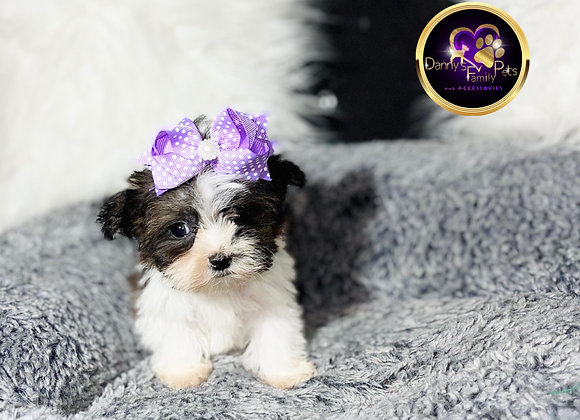 Natalia- Female | 8-Weeks Old | Shorkie Tzu