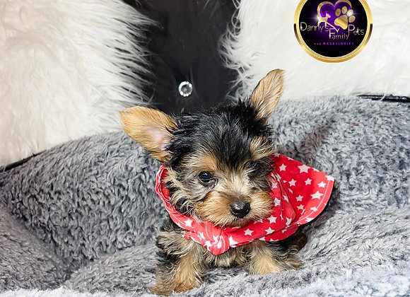 Rizzo - Male | 9-Weeks Old | Yorkshire Terrier