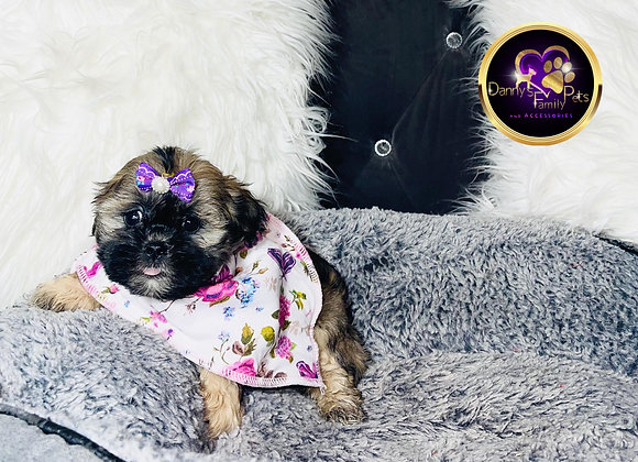 Cindy - Female | 8-Weeks Old | Shichon