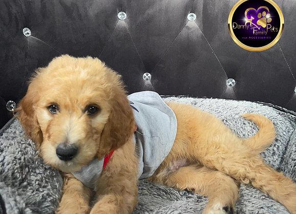 Quinn- Male | 8-Weeks Old | Goldendoodle