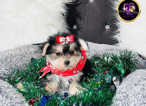 Missy - Female | 8 -Weeks Old | Morkie
